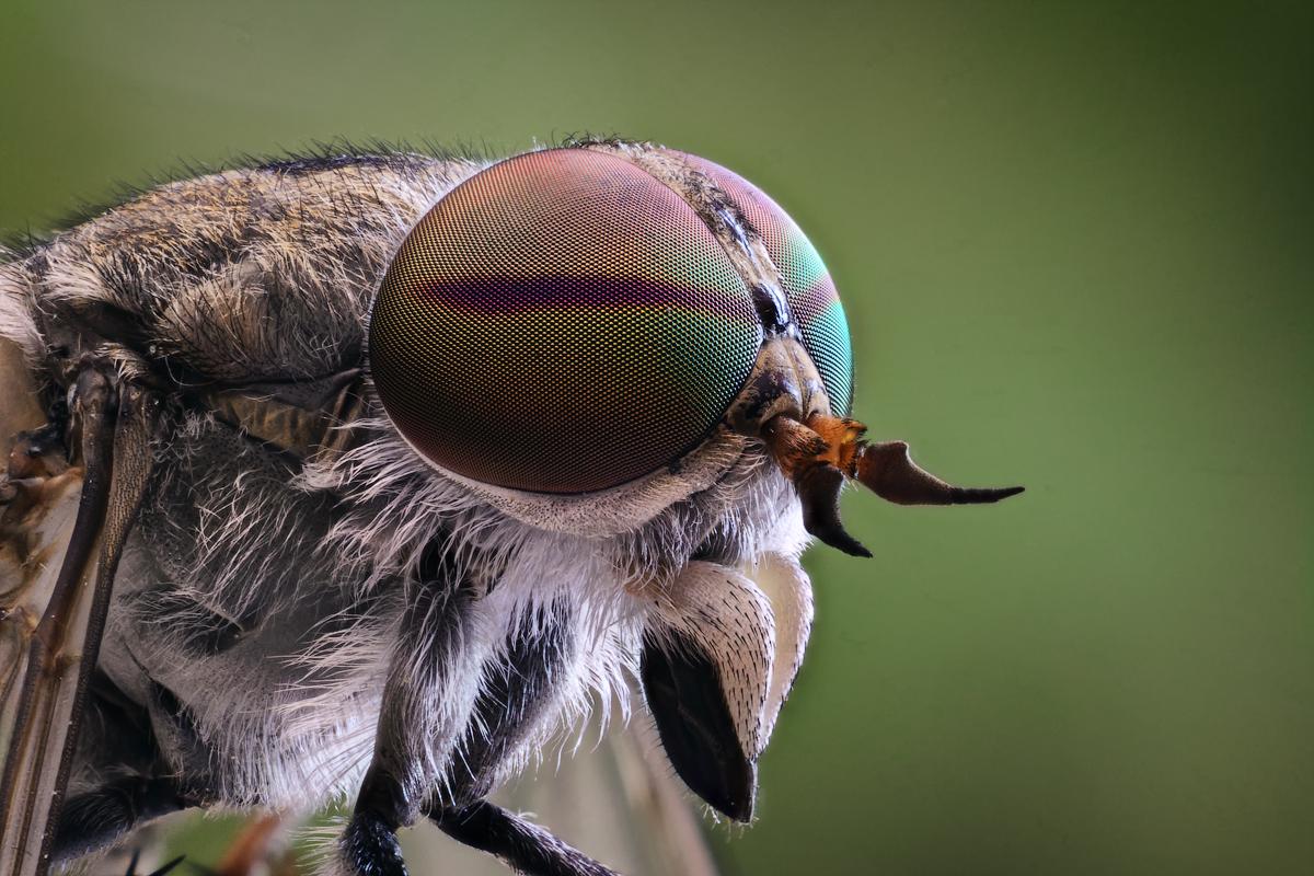 Картинки насекомое овод