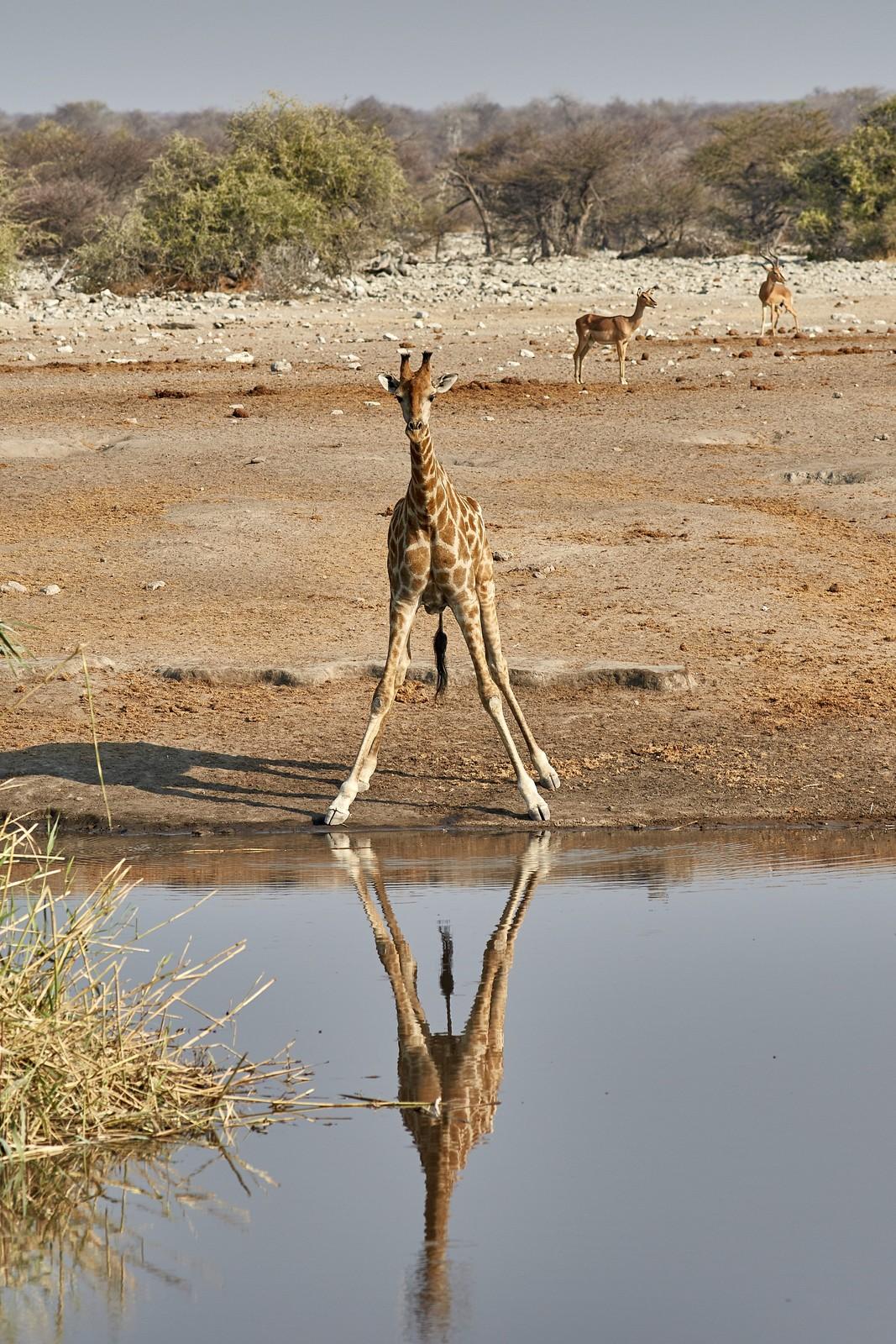 Жираф в воде картинки прикол возможность подобрать